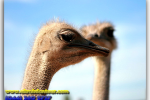 Ostrich Farm, near Kiev, sightseeing, travel from Kiev to Ukrainian Tour (044) 360 5737
